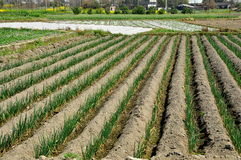 Pengzhou, China: Fields of Young Onions Royalty Free Stock Image
