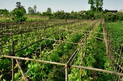 Pengzhou, China: Grape Vines in Vineyard Royalty Free Stock Photos