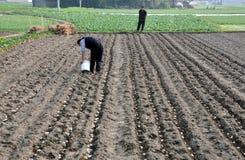 Pengzhou, China: Landwirt, der Kartoffeln pflanzt Lizenzfreies Stockbild