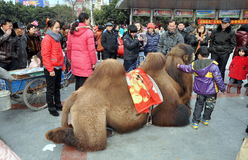 Pengzhou, China: Little Boy with Camel Royalty Free Stock Photos