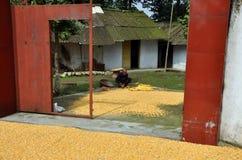 Pengzhou, China: Man Drying Corn Kernels Royalty Free Stock Photos