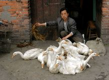Pengzhou, China: Man with Flock of Ducks Royalty Free Stock Photography