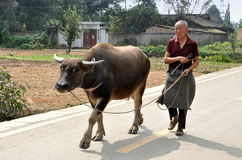 Pengzhou, China: Man Walking Water Buffalo Stock Image