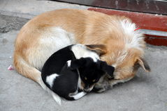 Pengzhou, China: Mother Dog and Her Puppy Stock Photography