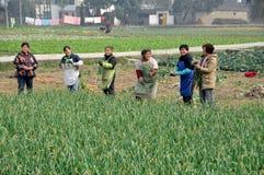 Pengzhou, China: Mulheres que colhem o alho Fotos de Stock
