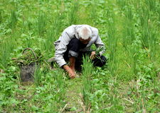 Pengzhou, China: Old Man Picking Rice Grains Royalty Free Stock Photo