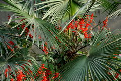 Pengzhou, China: Red Salvia & Palmetto Leaves Stock Images