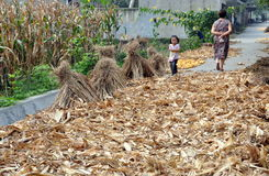 Pengzhou, China: Roadway with Drying Corn Husks Stock Photo
