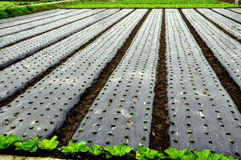 Pengzhou, China: Seedlings Grown Under Plastic Stock Photos