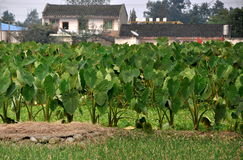 Pengzhou, China: Taro Plants on a Farm. A field of large-leaved Taro plants grown for their prized edible tubers on a small Sichuan farm near the city of Royalty Free Stock Photo