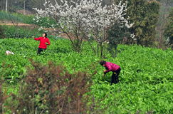 Pengzhou, China: Twee Vrouwen die Groenten plukken Royalty-vrije Stock Afbeeldingen