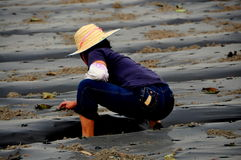 Pengzhou, China: Woman Checking Seedlings Stock Photo