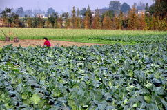 Pengzhou, China: Woman in Field of Cauliflower Royalty Free Stock Photo