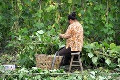 Pengzhou, China: Woman Harvesting Beans Stock Photos