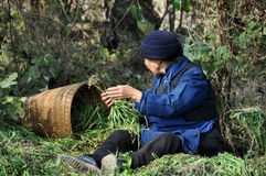 Pengzhou, China: Woman Harvesting Garlic Stock Images