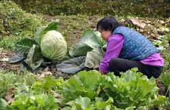 Pengzhou, China: Woman with Huge Cabbage Stock Image