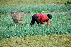 Pengzhou, China: Woman Picking Garlic Royalty Free Stock Images