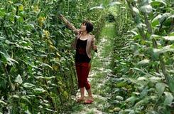 Pengzhou, China: Woman Picking Green Beans Stock Images