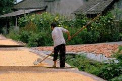 Pengzhou, China: Woman Raking Corn Kernels Stock Image
