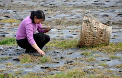 Pengzhou, China: Woman Working in Field Stock Image