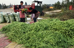 Pengzhou, China: Women Bagging Green Beans Royalty Free Stock Images