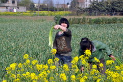 Pengzhou, China:  Women Harvesting Green Onions Royalty Free Stock Photos