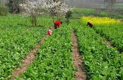 Pengzhou, China: Women Picking Vegetables Stock Image