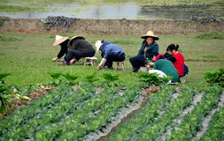 Pengzhou, China: Women Planting in Field Stock Photo