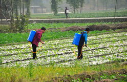 Pengzhou, China: Women Spraying Field. Two women working in a field of newly planted seedlings using sprayer pumps hung on their backs to stop insect royalty free stock photos