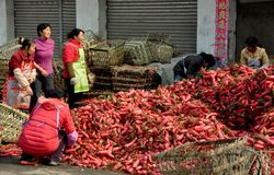 Pengzhou, China: Women Unloading Radishes. A group of women unloading freshly harvested red Chinese radishes from large straw baskets at a local farm co-op in Stock Image