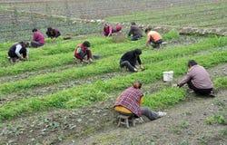 Pengzhou, China: Women Working in Field Royalty Free Stock Photography