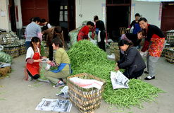 Pengzhou, China:  Workers with Green Beans Royalty Free Stock Image