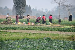 Pengzhou, China: Workers Harvesting Garlic Royalty Free Stock Photo