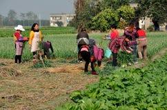 Pengzhou, China: Workers Harvesting Garlic Stock Photos