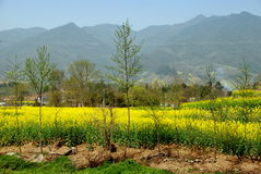 Pengzhou, China: Yellow Rapeseed Flowers Landscape Royalty Free Stock Images