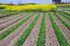 Pengzhou, China: Yellow Rapeseed & Onion Starters Royalty Free Stock Photography