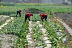 Pengzhou, Chine : Femmes moissonnant des radis Images stock
