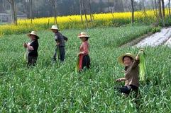Pengzhou, Chine : Fermiers moissonnant l'ail photos stock