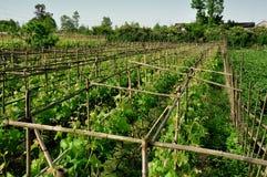 Pengzhou, Chine : Vignes dans le vignoble photos libres de droits