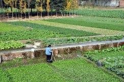 Pengzhou, Chine : Zones des légumes image stock