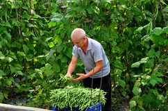 Pengzhou, Cina: Agricoltore Picking Green Beans Fotografia Stock