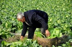 Pengzhou, Cina: Agricoltore Working nel campo Immagine Stock Libera da Diritti
