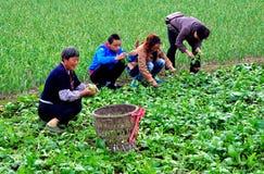 Pengzhou, Cina: Agricoltori che lavorano nel campo Fotografia Stock Libera da Diritti