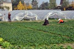 Pengzhou, Cina: Agricoltori che lavorano nel campo del cavolo cinese Fotografia Stock Libera da Diritti