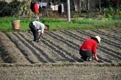 Pengzhou, Cina: Agricoltori che piantano aglio Fotografie Stock