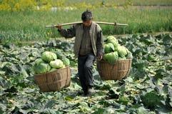 Pengzhou, Cina: Cavoli di trasporto del coltivatore Fotografia Stock Libera da Diritti