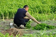 Pengzhou, Cina: Coltivatore che raccoglie prezzemolo Immagine Stock Libera da Diritti