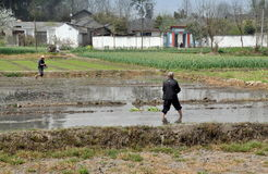 Pengzhou, Cina: Coltivatori che piantano riso Fotografia Stock