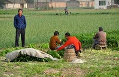 Pengzhou, Cina: Coltivatori che raccolgono sedano Fotografie Stock