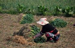 Pengzhou, Cina: Donna che raccoglie aglio verde Fotografia Stock Libera da Diritti